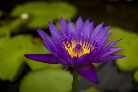 The thailand lotus in my garden Stock Photo - 15058303