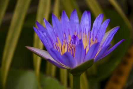 The thailand lotus in my garden Stock Photo - 15058311