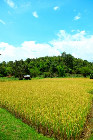 the field rice of northern thailand Stock Photo - 15058327