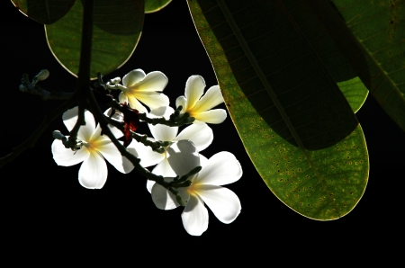 the frangipani  art on dark Background Stock Photo