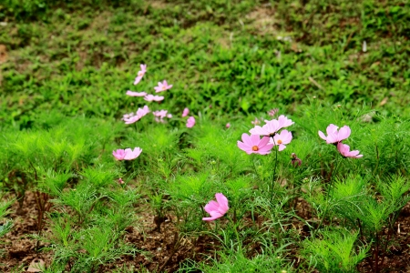 the thailand beautiful flower in garden Stock Photo - 15058323