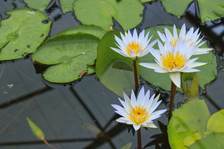 Thailand lotus in the garden Stock Photo - 15276385