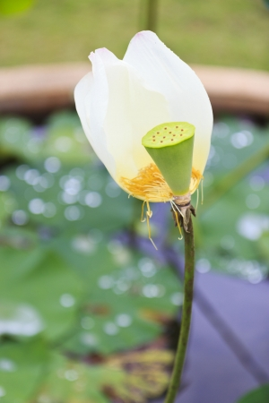 Thailand lotus in the garden Stock Photo - 15276384