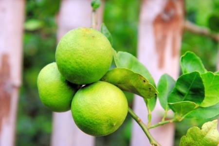Green lemon in the garden photo
