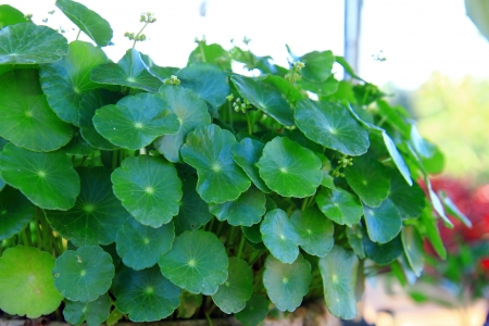 Thai centella asiatica for drink  Stock Photo