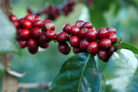 coffee tree: A coffee tree in the garden Stock Photo