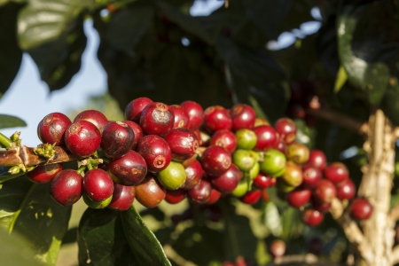 A coffee tree in the garden Stock Photo