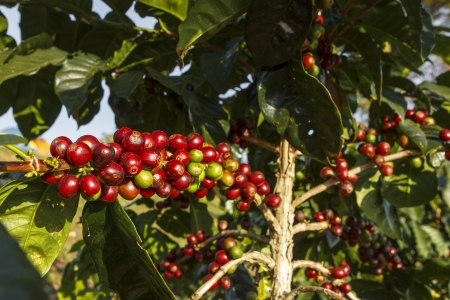 coffee harvest: A coffee tree in the garden Stock Photo