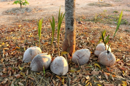 young coconut for plant photo
