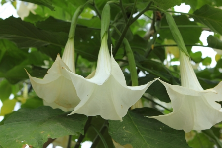 linn: Datura metel Linn flower in garden Stock Photo