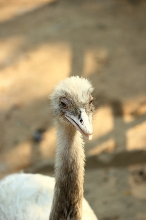rhea: greater rhea bird in thailand zoo Stock Photo