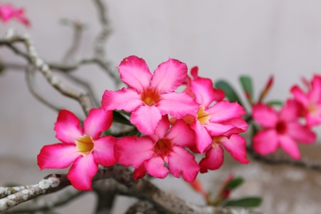 Desert Rose-Impala Lily- Mock Azalea Beautiful Red flowers  Stock Photo