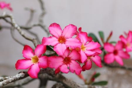 Desert Rose-Impala Lily- Mock Azalea Beautiful Red flowers  Archivio Fotografico