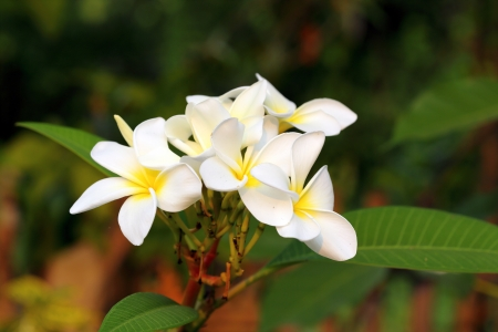 white frangipani flower in the park  photo
