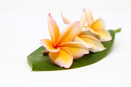 Plumeria frangipani flower on white background photo