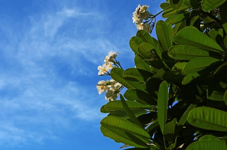 white frangipani flower on blue sky photo