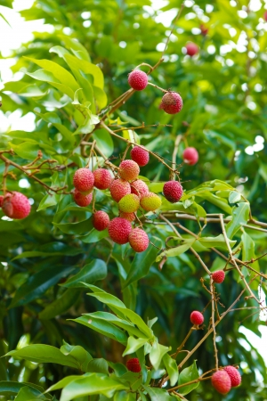 Red Lychee on the green tree photo
