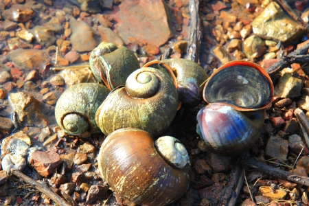Golden Apple Snail photo