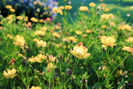 beautiful yellow flower spring blossoms in garden  photo