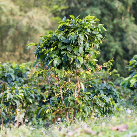 A coffee tree in the garden