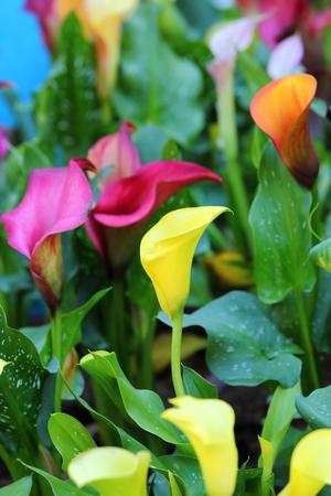 calla lily flower blossom photo