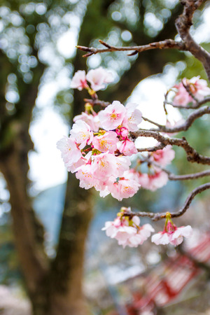 ume: Ume flower in japan temple Stock Photo