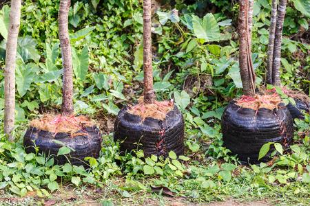 plantando arbol: la plantaci�n de �rboles para el jard�n Foto de archivo