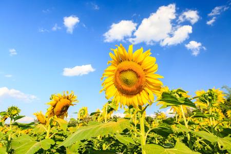 Sunflower plant on blue sky