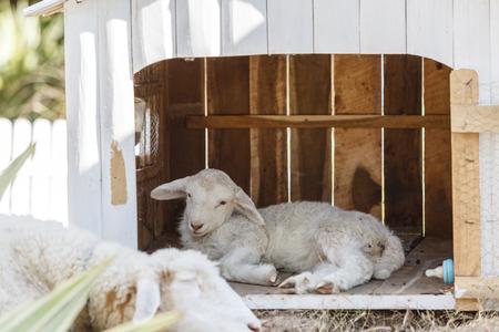 little sheep with sleep mother
