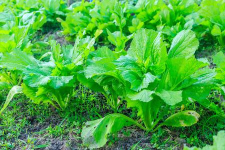 Kale vegetable garden plant photo