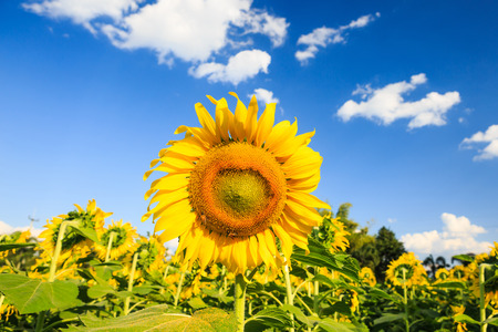 Sunflower plant on blue sky photo