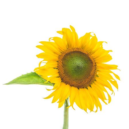Sunflower plant on white background Stock Photo
