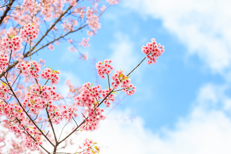 Wild Himalayan Cherry spring blossom photo