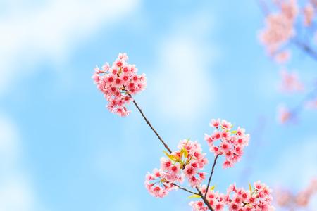 Wild Himalayan Cherry spring blossom photo