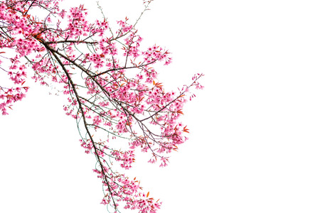 Wild Himalayan Cherry spring blossom on white background 版權商用圖片