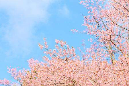 blossom tree: Wild Himalayan Cherry spring blossom