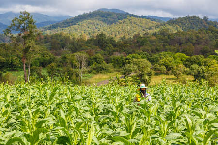 put: Thai woman put Insecticide and fertilizer in tobacco plant Stock Photo