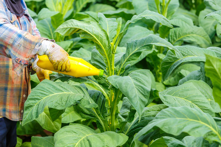 insecticide: Thai woman put Insecticide and fertilizer in tobacco plant Stock Photo