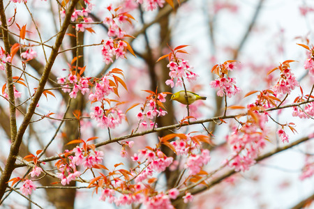 Bird on Cherry Blossom and sakura photo