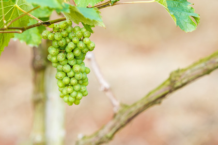 branch young grapes on vine in vineyard photo