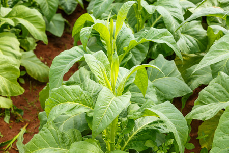 tobacco plant on countryside of thailand 版權商用圖片