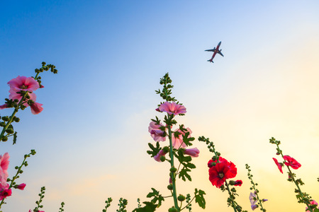 hollyhock flower garden with sunset sky and plane photo