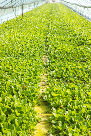 Kale vegetable garden plant