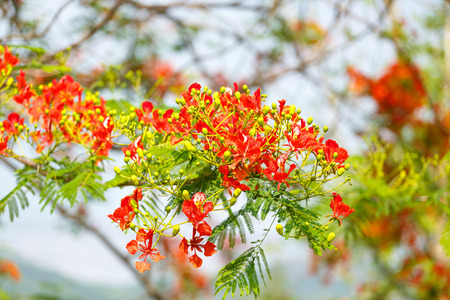 pulcherrima: Caesalpinia pulcherrima flower Stock Photo