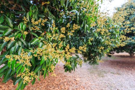 litchi: litchi flower on tree