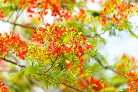 pulcherrima: Caesalpinia pulcherrima fiore Archivio Fotografico