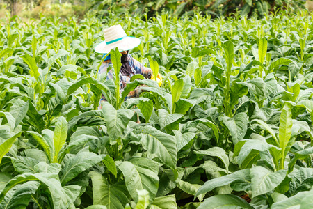 tobacco plants: Thai woman put Insecticide and fertilizer in tobacco plant Stock Photo