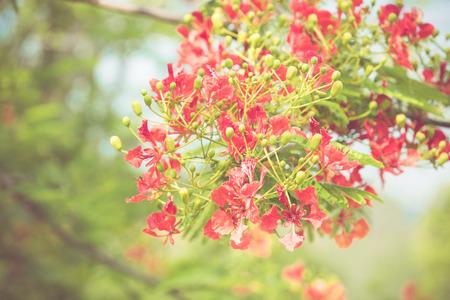 pulcherrima: Caesalpinia pulcherrima flower in vintage retor color tone