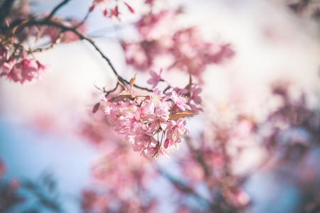 himalayan: Wild Himalayan Cherry spring blossom