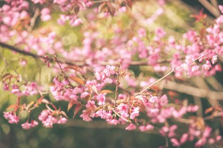 cerezos en flor: Flor de primavera salvaje del Himalaya de la cereza